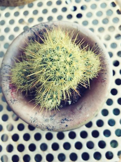Tiny Cactus Cactus Thorn Close-up Potted Plant Plant Spiked Nature Growth Arizonaliving Desertplants