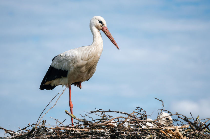 Stork standing in nest with its chicks against blue sky close up Chicks Animal Themes Animal Wildlife Animals In The Wild Beauty In Nature Bird Blue Sky Branch Close-up Day Nature Nest Nesting Birds No People One Animal Outdoors Sky Stork White Stork