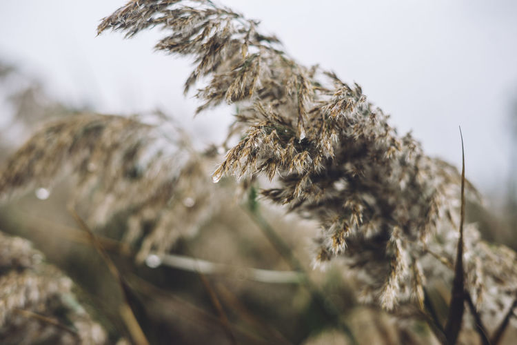 grasses in rain Plant Close-up No People Nature Growth Selective Focus Day Beauty In Nature Focus On Foreground Outdoors Land Dry Cold Temperature Field Tranquility Sky Winter Crop  Fragility Vulnerability  Wilted Plant