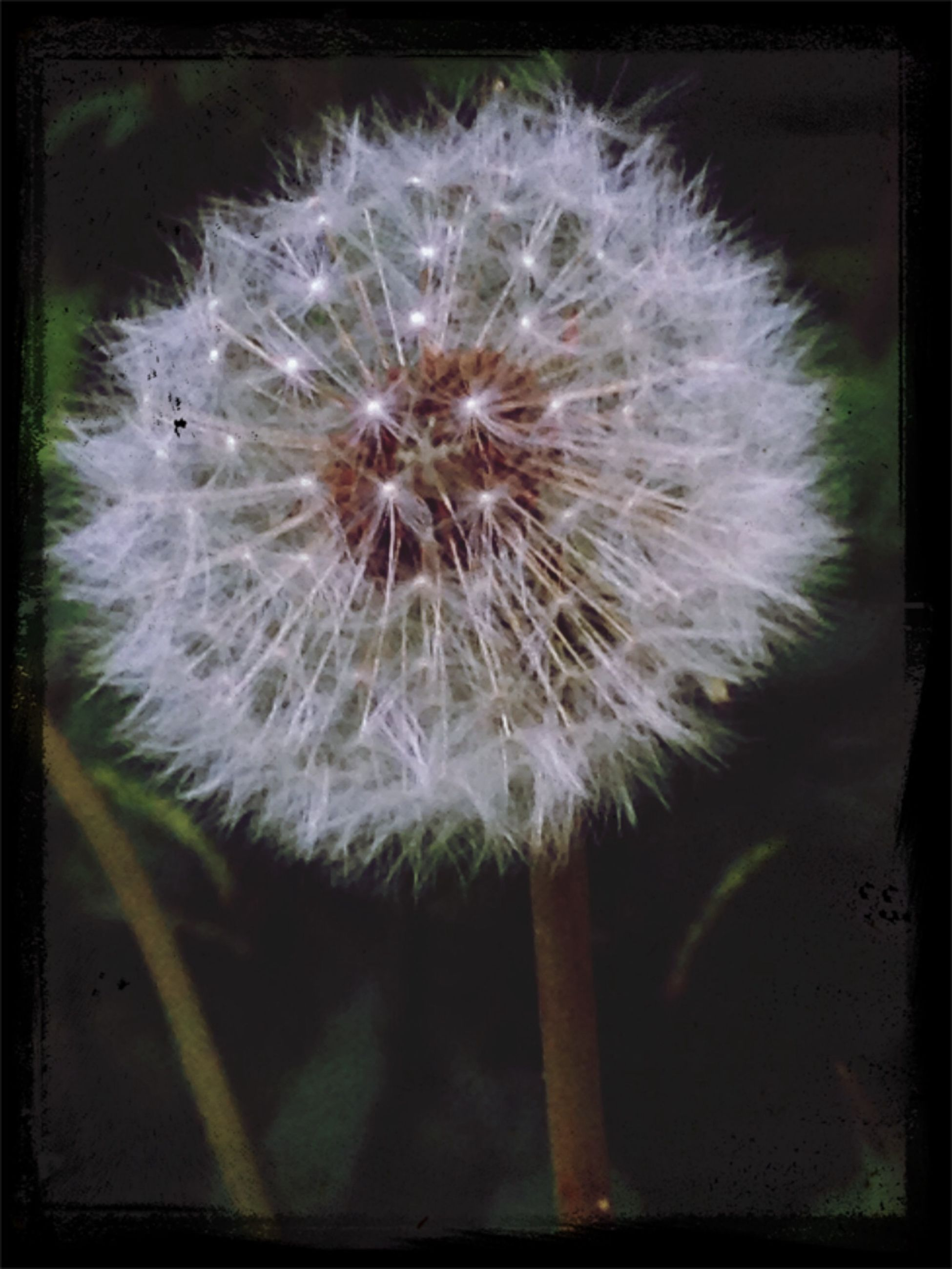 dandelion, flower, flower head, fragility, growth, freshness, close-up, single flower, beauty in nature, nature, transfer print, softness, white color, auto post production filter, focus on foreground, stem, wildflower, dandelion seed, plant, uncultivated
