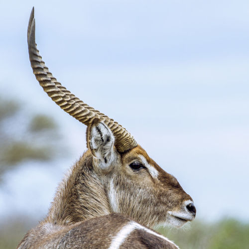 Close-up of antelope against sky