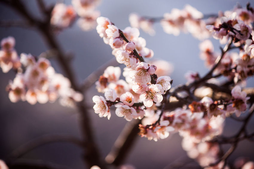 'K' Beauty In Nature Blossom Canon Canon EOS 50D  Canonphotography Close-up Flower Flowers Growth Gwangyang In Bloom Nature Petal Pink Color South Korea Spring Spring Flowers Springtime The Life Spectrum Tree