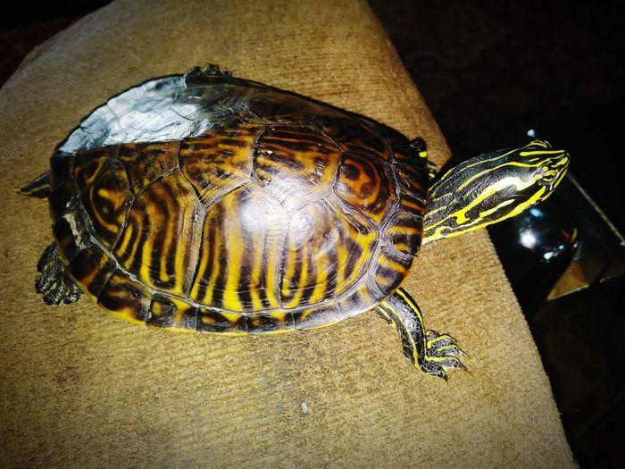 Gold Colored Shiny Indoors  Close-up No People Reptile Animal Yellow Black Background One Animal Animal Wildlife Animal Themes Nature Turtle Turtle 🐢 Turtles Turtle Power Turtle Love Yellow Belly Slider Day Indoors