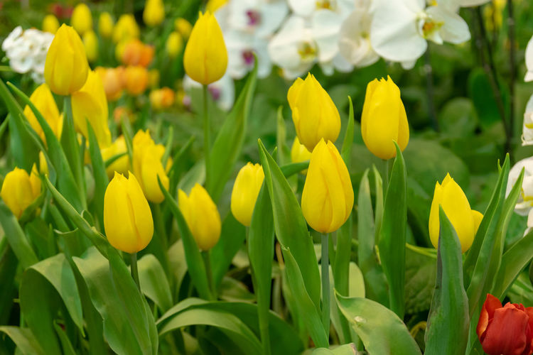 Tulips are flowers in a cold climate and flowers are beautiful in many colors. Plant Flower Growth Yellow Flowering Plant Vulnerability  Beauty In Nature Freshness Fragility Petal Tulip Close-up Flower Head Inflorescence Field Nature Day Green Color No People Plant Part Outdoors Springtime Flowerbed Gardening Park