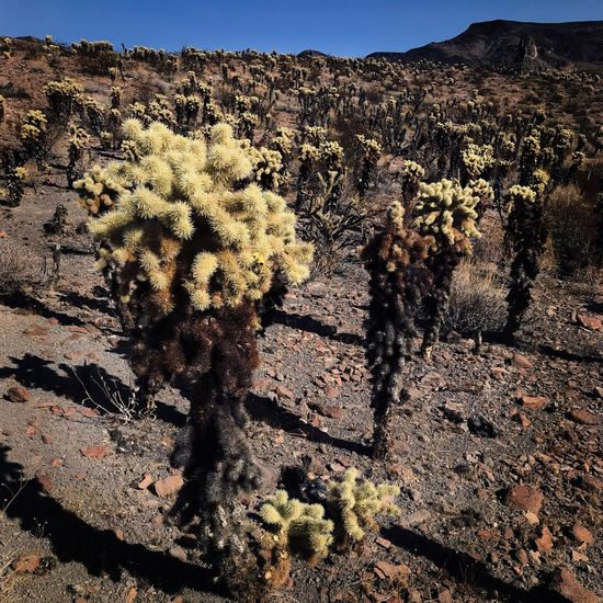 Cholla Cactus on Route 66 near Oatman, Arizona. Desert Cactus Nature Plant No People Growth Sunlight Arid Climate Tranquility Beauty In Nature Landscape Outdoors