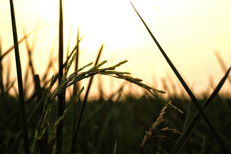 Agriculture Close-up Field Growth Crop  Farm Sunset Day Nature Rice Field Rice Freshness rice coming