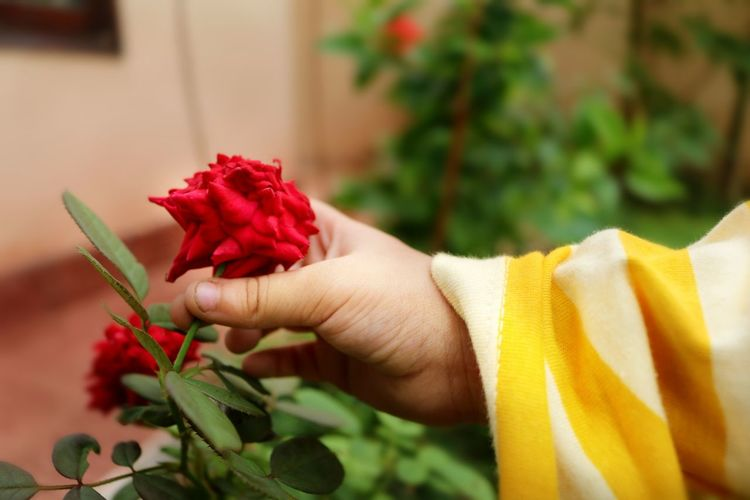 Cropped hand of child holding red flower