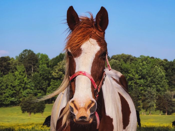 Spending quality time with one of my neighbours. 🐴🤠 Clear Sky Sunshine Walking Around Springtime Taking Photos Morning Horse Mammal Animal Themes Animal Domestic Animals One Animal Sky Livestock Nature Clear Sky No People Pets Tree Field