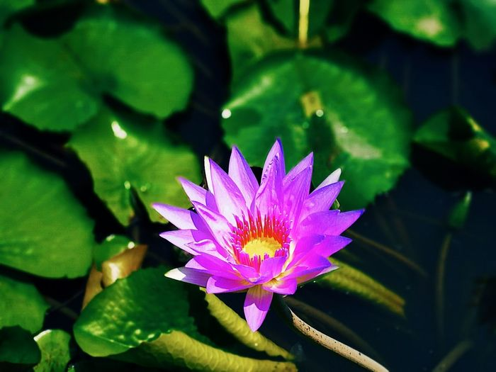 Flower Leaf Plant Nature Purple Beauty In Nature Freshness Petal Fragility Flower Head No People Water Lily Outdoors Day Growth Water Pink Color Tranquility Close-up Lotus Water Lily