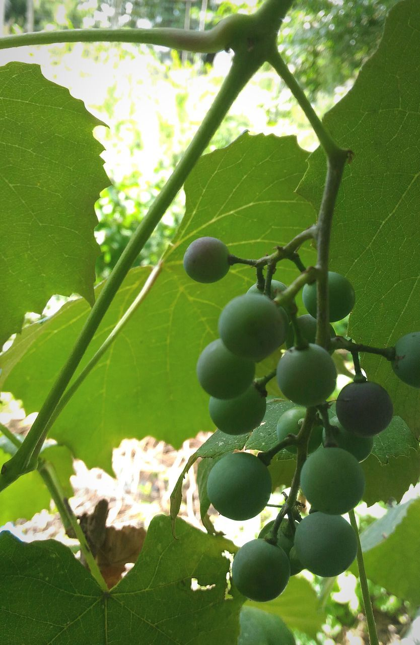 growth, fruit, leaf, food and drink, nature, green color, day, freshness, tree, no people, growing, branch, beauty in nature, plant, food, outdoors, grape, close-up, low angle view, agriculture, hanging, healthy eating