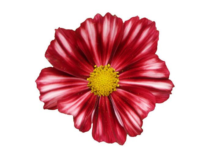 Cosmos flowers,
