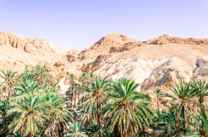 Desert Palm Tree Palms Arid Climate Beauty In Nature Clear Sky Day Desert Landscape Mountain Mountain Range Nature No People Outdoors Palm Tree Scenics Sky Tranquil Scene Tranquility
