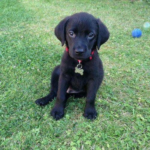 Black Lab Labrador Puppy Henson