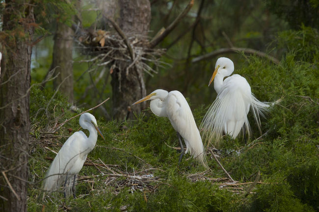 Animal Themes Animal Wildlife Animals In The Wild Beak Bird Day Egret Egrets Grass Great Egret Nature No People Outdoors White Color