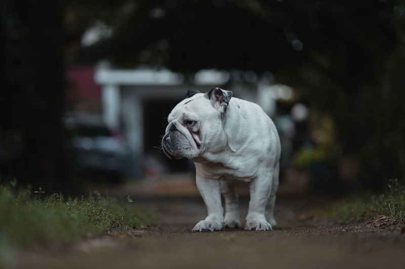Animal Animal Themes Bulldog Canine Day Dog Domestic Domestic Animals Land Looking Looking Away Mammal Nature No People One Animal Pets Plant Selective Focus Standing Vertebrate