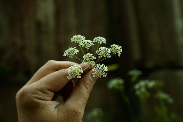 Beauty In Nature Close-up Flower Focus On Foreground Fragility Human Hand Nature Plant Vitebsk,Belarus