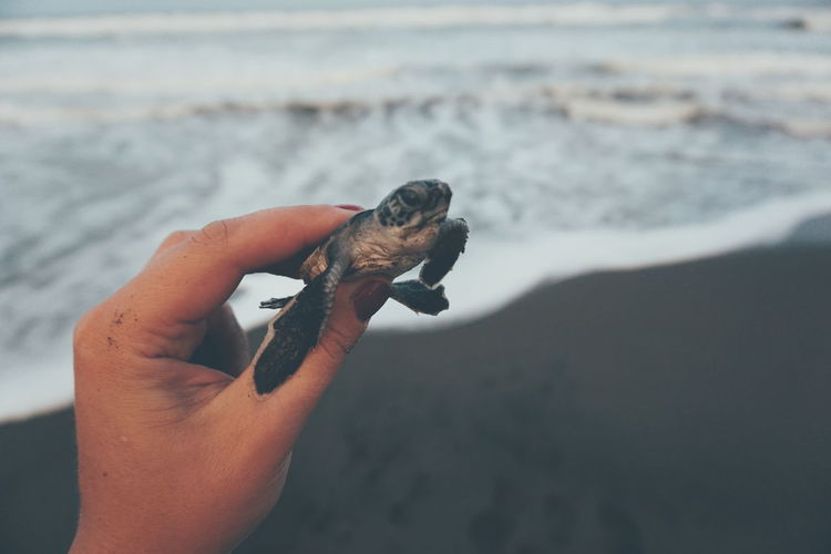 Close-Up Of Hand Holding Turtle At Beach