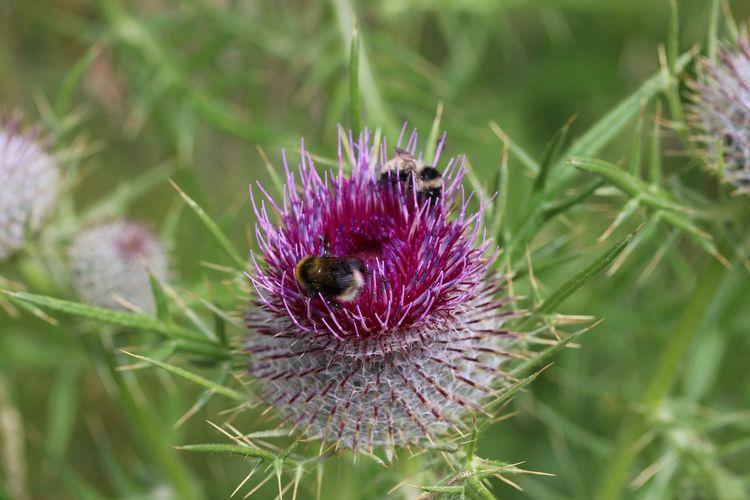 Close-up of honey bee on purple thistle flower