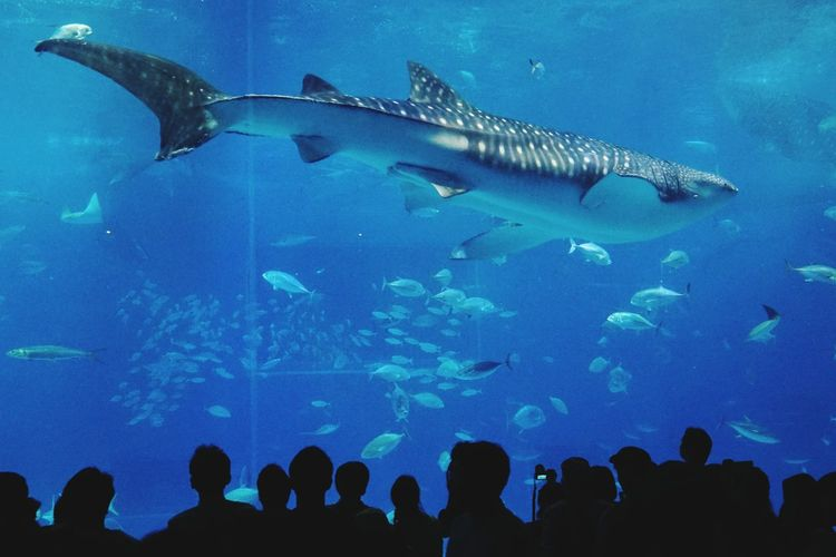 Silhouette People Looking At Whale Shark In Okinawa Churaumi Aquarium Tank