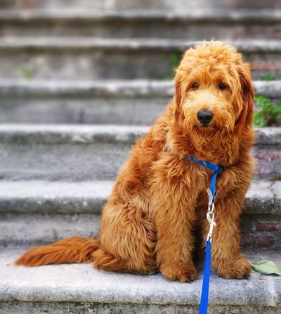 Dog Pets Wet Outdoors One Animal Domestic Animals Animal Themes Portrait Day Water No People Mammal Close-up goldendoodle Doodle Hunde Goldendoodles