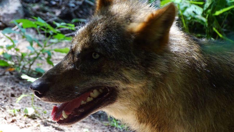 Ein junger Wolf im Wildpark Schwarze Berge. Animals