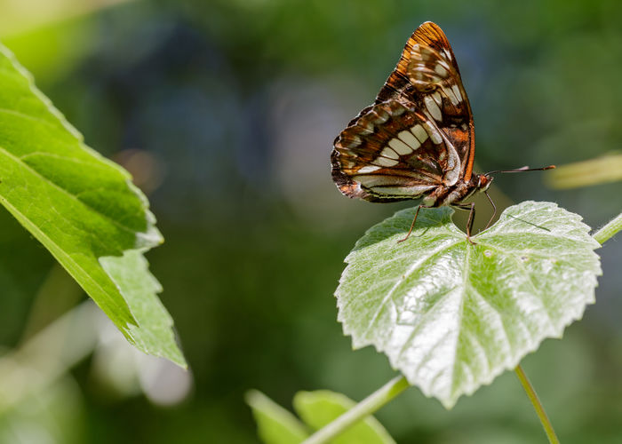 Close-up of butterfly pollinating on leaves