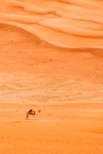 Distance view of camel on desert