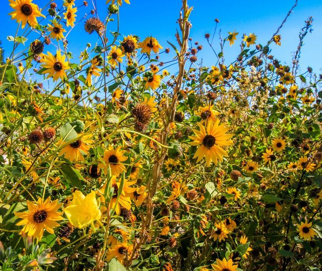 Getting lost in a yellow forest Farmland Fall Yellow Flower Plant Growth Flower Flowering Plant Freshness Beauty In Nature Yellow Fragility Vulnerability  No People Nature Close-up Sky Flower Head Outdoors Petal Day Inflorescence Low Angle View Sunlight