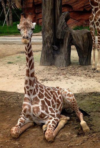 Giraffe Amimals Nature_collection Zoo