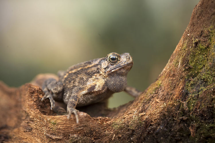 The swamp frog with the rough skin