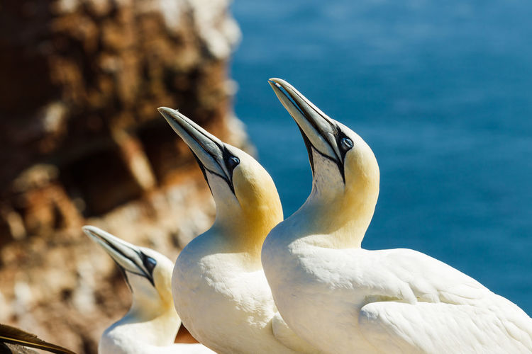 Close-up of gannets looking away against sea