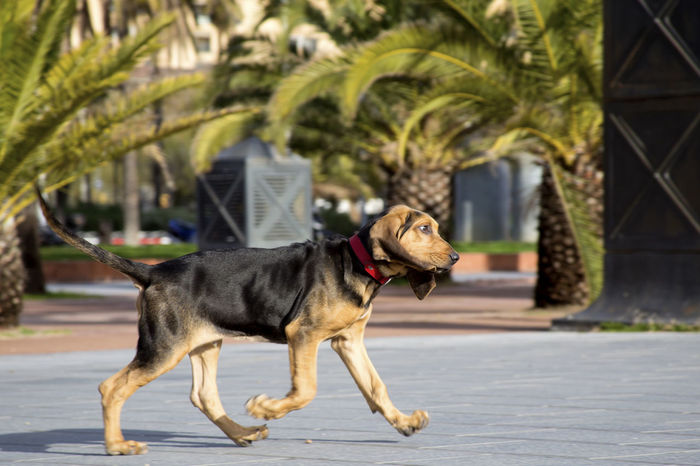 Bloodhound puppy runs Animal Themes Bloodhound Bloodhound Puppy Cute Dog Dog Running Dogs Domestic Animals Funny FUNNY ANIMALS Mammal Nature No People One Animal Outdoors Palms Pets Pets Corner Puppy Puppy Love Sunny Day Walking Walking Puppy