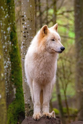 View of a wolf looking away