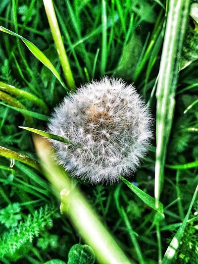 Eyem Nature Lover Plant Growth Beauty In Nature Flower Freshness Close-up Summer Exploratorium Flowering Plant Green Color Fragility Vulnerability  Flower Head Nature Inflorescence No People Dandelion Day Land Focus On Foreground Field Outdoors