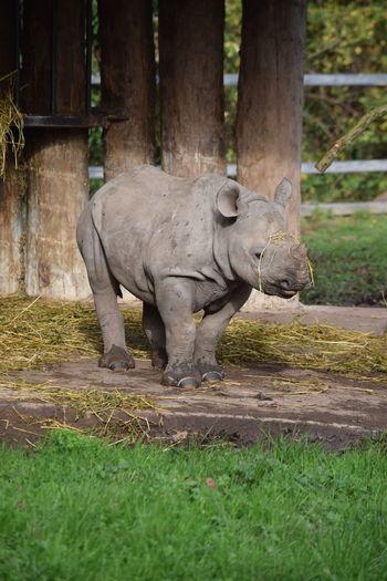 Animal Wildlife One Animal Animal Mammal Outdoors Grass Nature No People Day Chester Zoo Rhinoceros Rhino Baby Baby Rhino