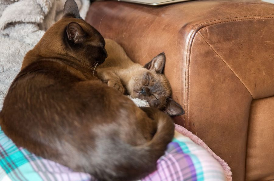 Brown Burmese Cat Cat Comfortable Cute Domestic Animals Domestic Cat Feline Home Kitten Lying Down Multiple Cats Pets Relaxation Resting Sleeping