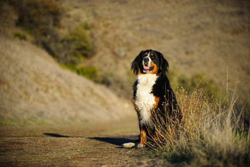 Bernese Mountain Dog One Animal Dog Canine Pets No People Nature Day Outdoors Looking Purebred Dog Bernese Mountain Dog Bernese Photography Animal Themes Portrait Sitting Adult Field