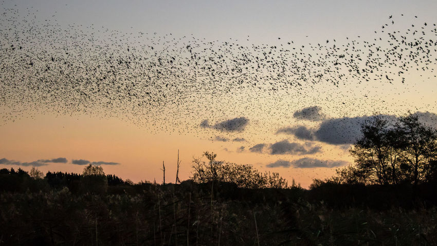 Sunset Nature No People Animals In The Wild Large Group Of Animals Silhouette Outdoors Sky Animal Wildlife Flock Of Birds Bird Beauty In Nature Animal Themes Flying Day Starlings Murmuration