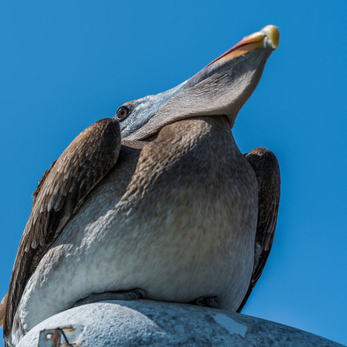 Low angle view of pelican perching on streetlamp against clear blue sky