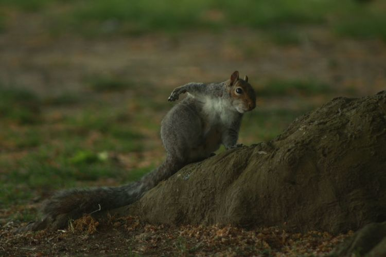 EyeEm Nature Lover EyeEmNewHere Itchy Shallow Depth Of Field Squirrel Animal Wildlife Animals In The Wild Day Focus On Foreground Land Mammal Nature No People One Animal Rodent Side View Tree Root Vertebrate