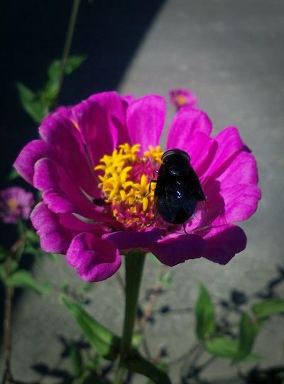 Bee 🐝 Bumblebee Zinnia  Beauty In Nature Bee Bee On Flower Beeonflower Black Bumblebee Blackbumblebee Blooming Flower Flower Head Nature Pollination Purple Zinnia Flower Zinnia Plant Nature