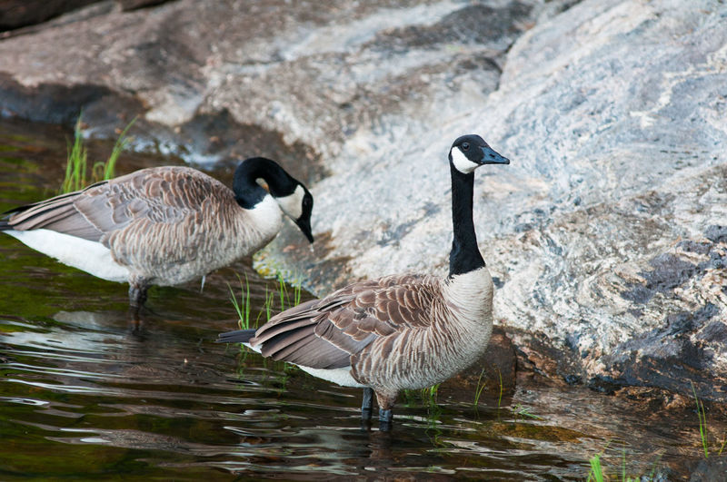 Canada geese on
