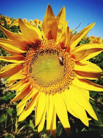 Ape Flower Head Flower Yellow Sunflower Petal Beauty Uncultivated Close-up Sky Plant