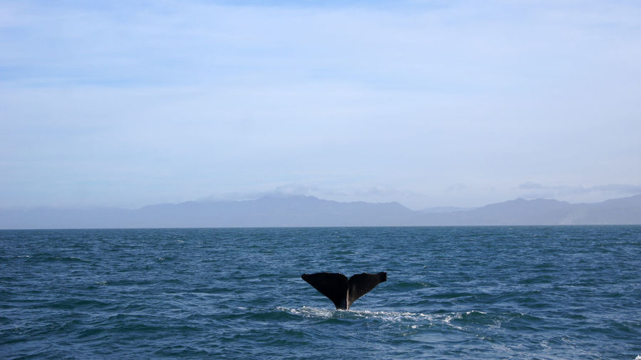Fluke of a diving humpback whale in the sea