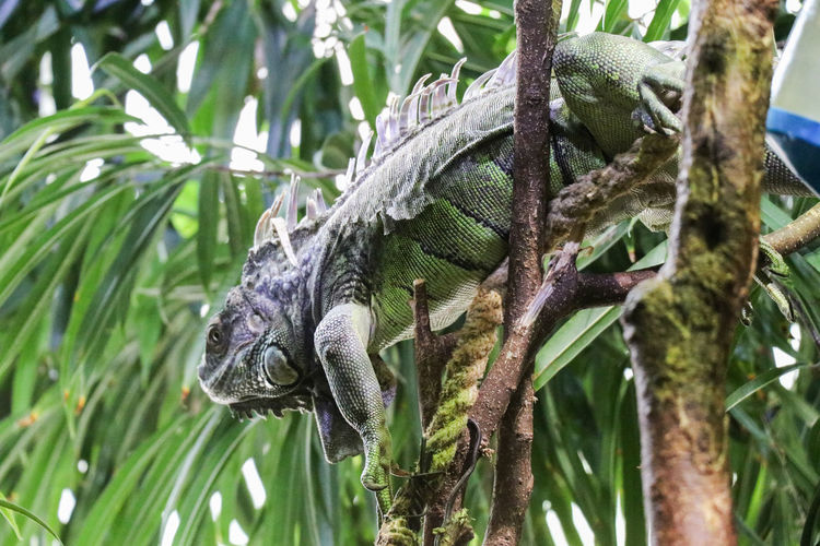 Iguana on a branch Animal Animal Scale Animal Themes Animal Wildlife Animals In The Wild Branch Close-up Day Focus On Foreground Green Color Iguana Leaf Lizard Nature No People One Animal Plant Plant Part Reptile Tree Vertebrate