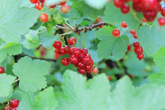 In my garden❣ Currant Redcurrant Garden Healtylife Healty Food Summer