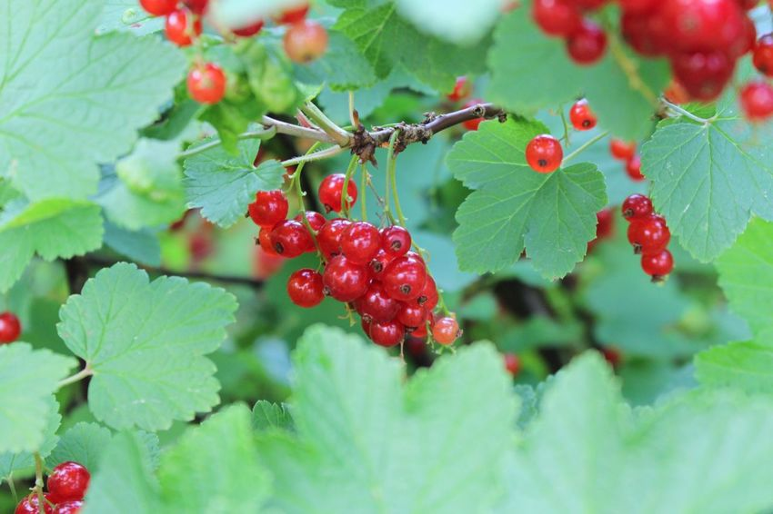 In my garden❣ Currant Redcurrant Garden Healtylife Healty Food Summer