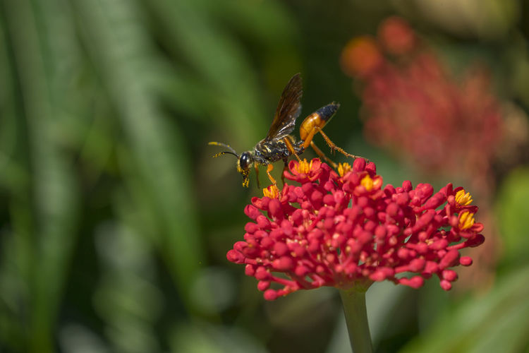 Close-up of wasp on red flower