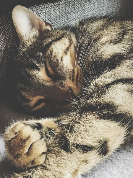 Pets Domestic Animals Eyes Closed  Animal Themes One Animal Domestic Cat Sleeping
