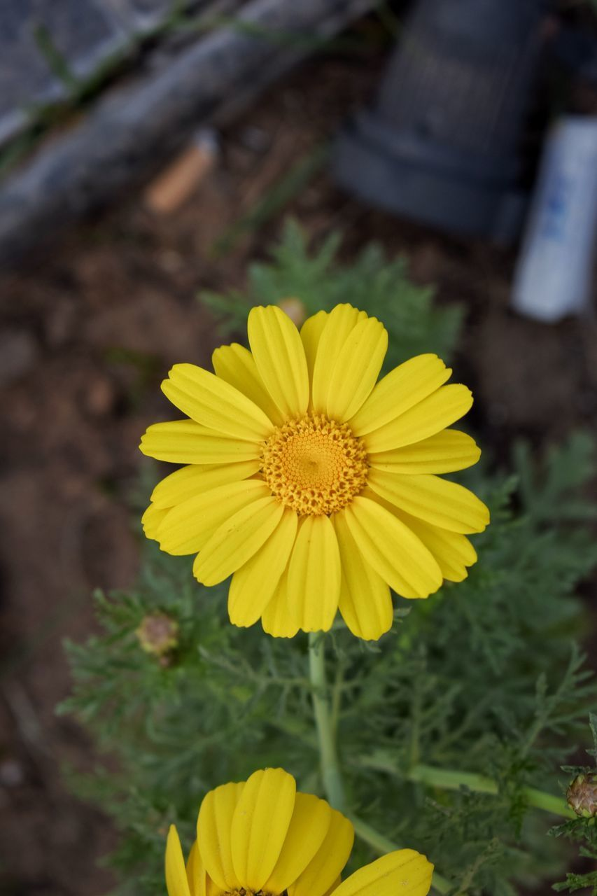 flower, flowering plant, yellow, plant, freshness, fragility, flower head, petal, vulnerability, inflorescence, beauty in nature, growth, close-up, nature, focus on foreground, day, pollen, outdoors, no people, high angle view, gazania